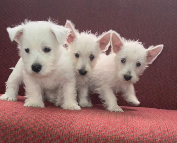 westhighland-terrier-puppies-605dd512420fa